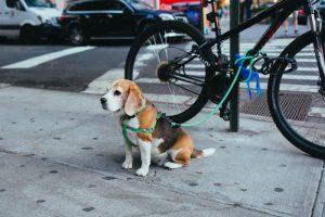 beagle with bike_OnlineJobsPlus